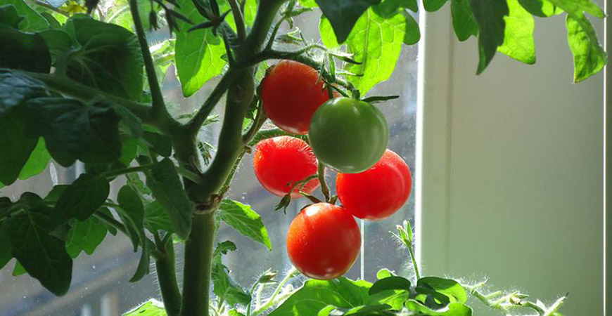 tomatoes-from-seed