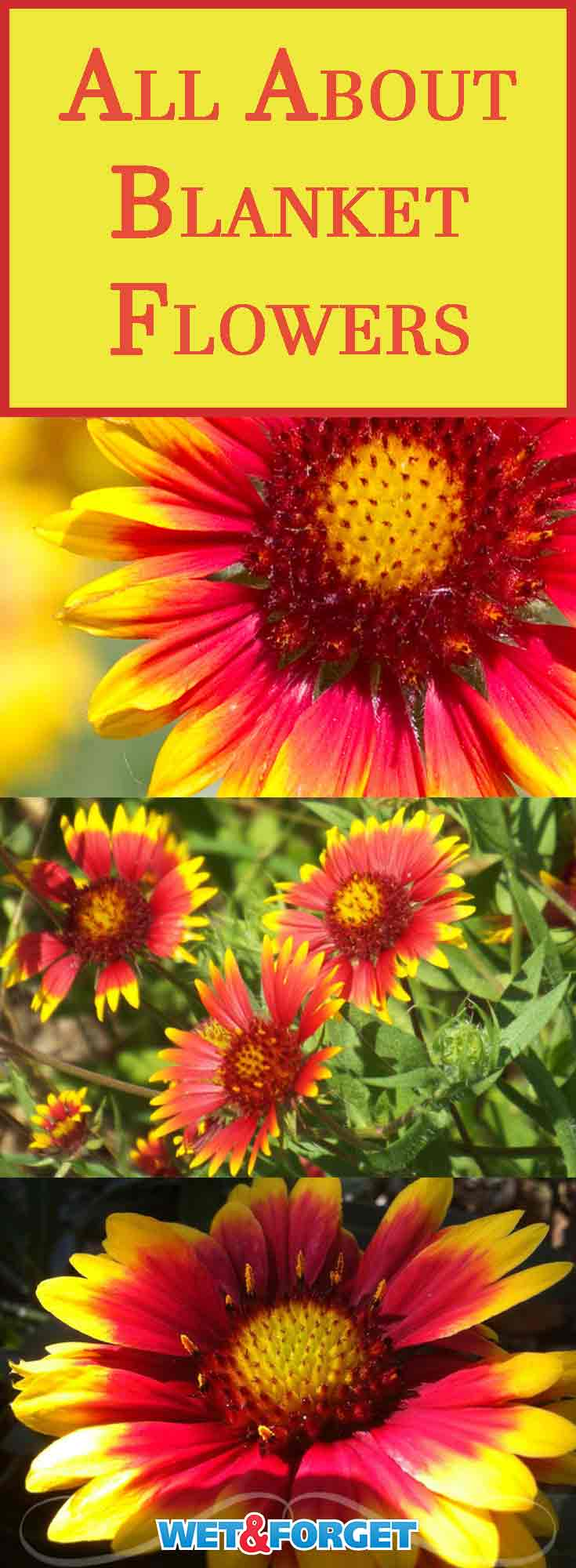 Ask Wet Forget Flower Spotlight Meet The Beautiful Blanket Flower