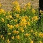 Ragweed Alert! How to Survive 2013's Supercharged Fall Allergy Season