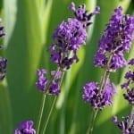 Flower Spotlight: Lovable Lavender