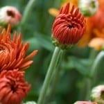 Flower Spotlight: Discover Magnificent Mums, Fall's Peerless Beauties!