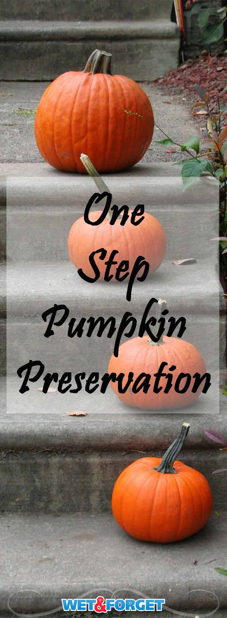 Learn how to preserve your pumpkins for up to 1 month with this simple one step process!