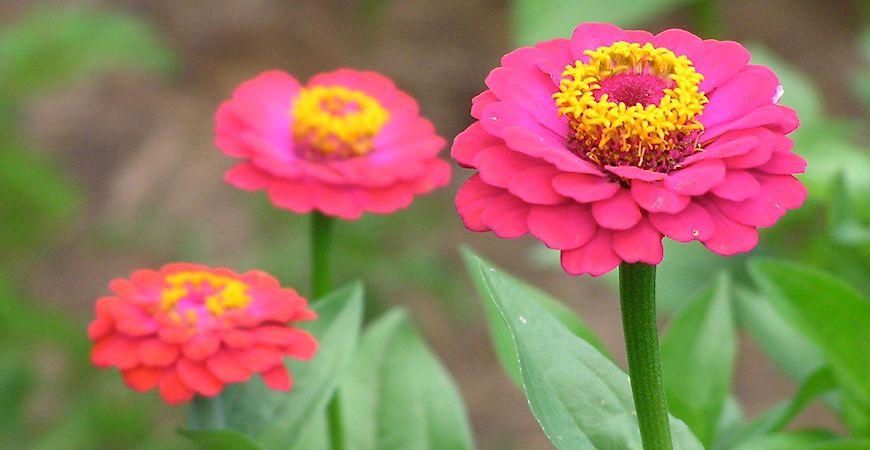 Ask Wet Amp Forget Flower Spotlight Worry Free Zinnias