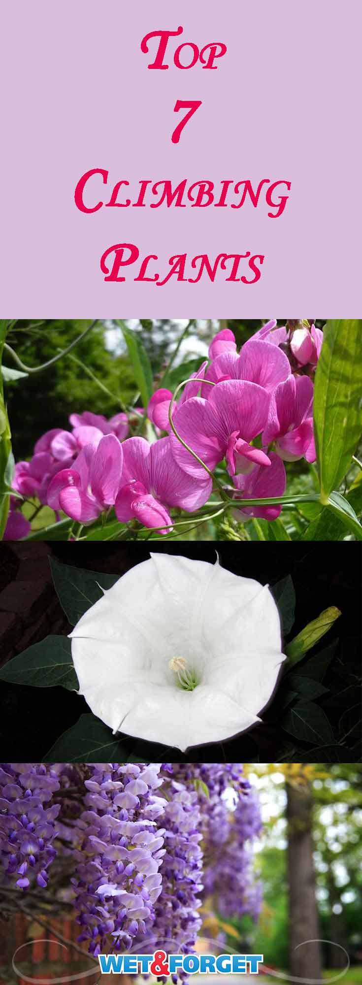 Ask Wet Forget Our 7 Favorite Climbing Plants To Wow Your