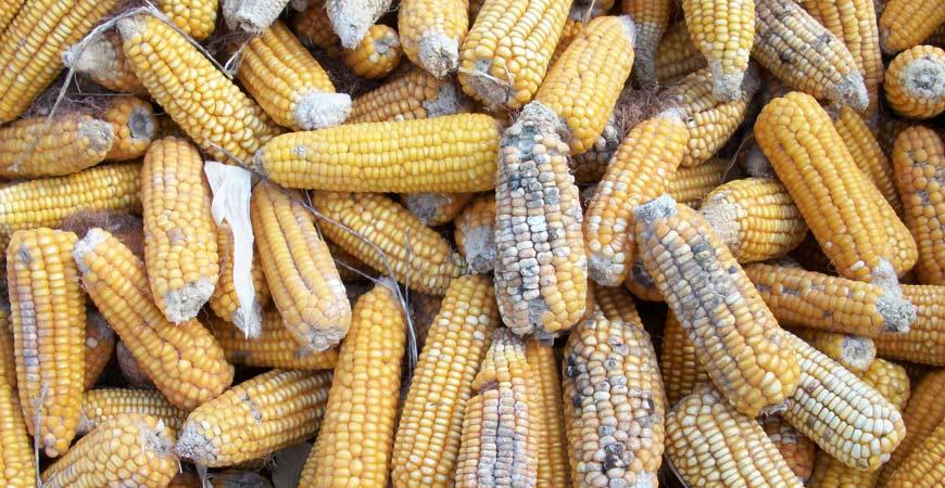 Aspergillus on rotten corn