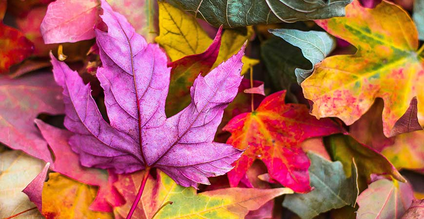 Leaves changing colors as the season shifts from summer to fall.