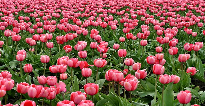 Tulips are often modified to have different colors and patterns.