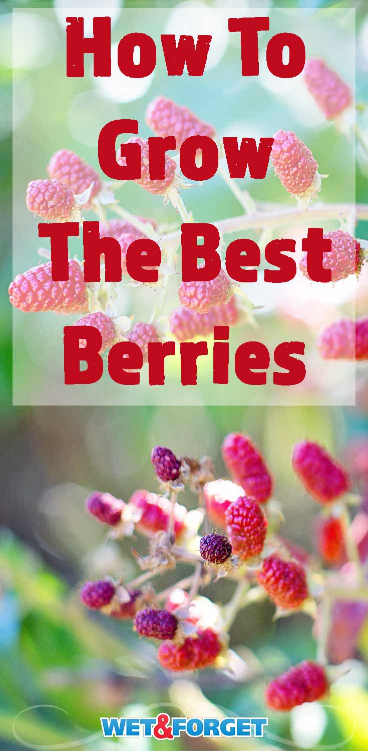 Thinking of starting a berry garden? Learn the best tips and tricks to growing strawberries, raspberries, and blueberries!