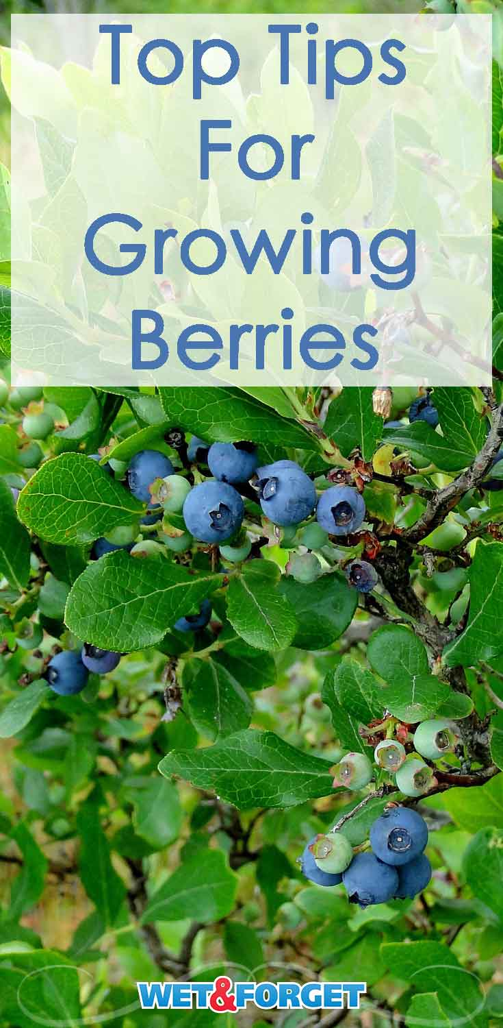 Berries are the top fruit flavors of the summer. Use these tips to help get your berry garden ready for the season!