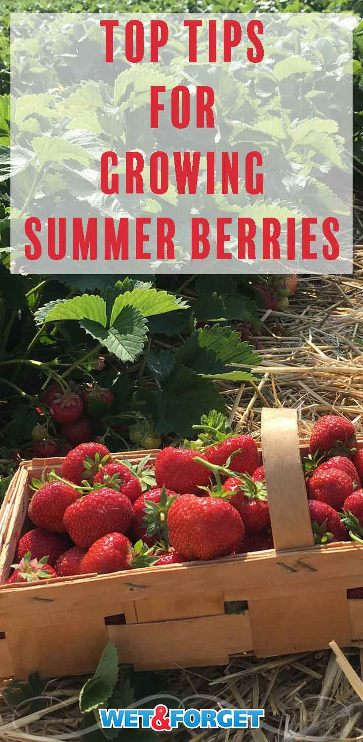 These helpful tips will ensure your summer berry garden is plentiful this year!
