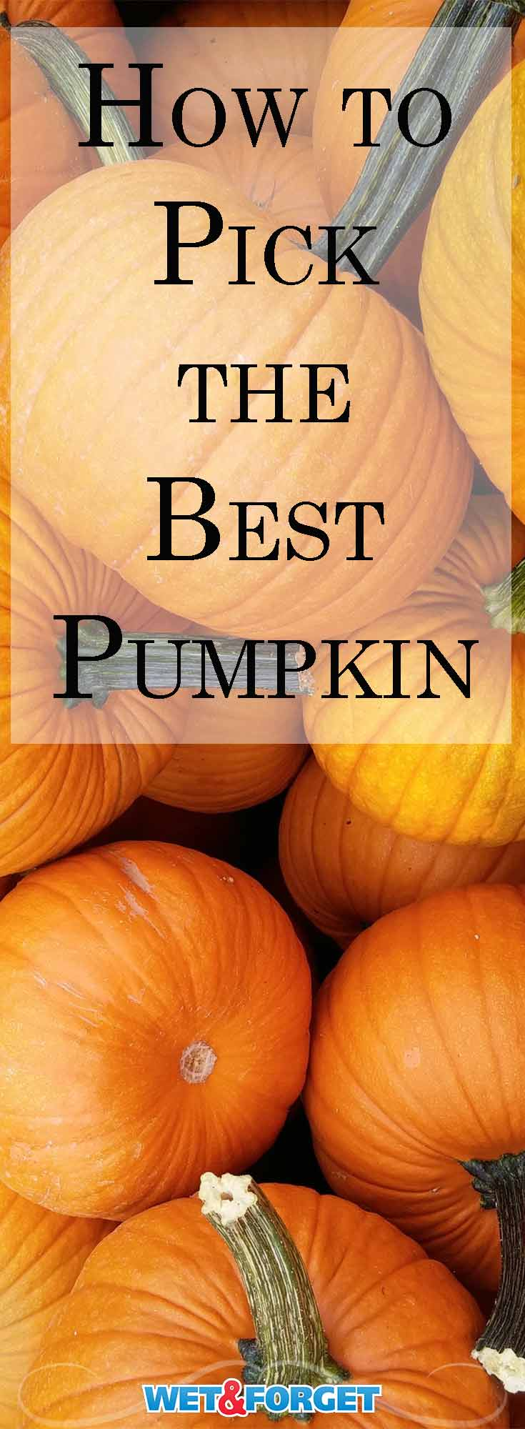 Pumpkins come in many shapes, sizes and colors. Use our guide to pick the best pumpkin for your needs!