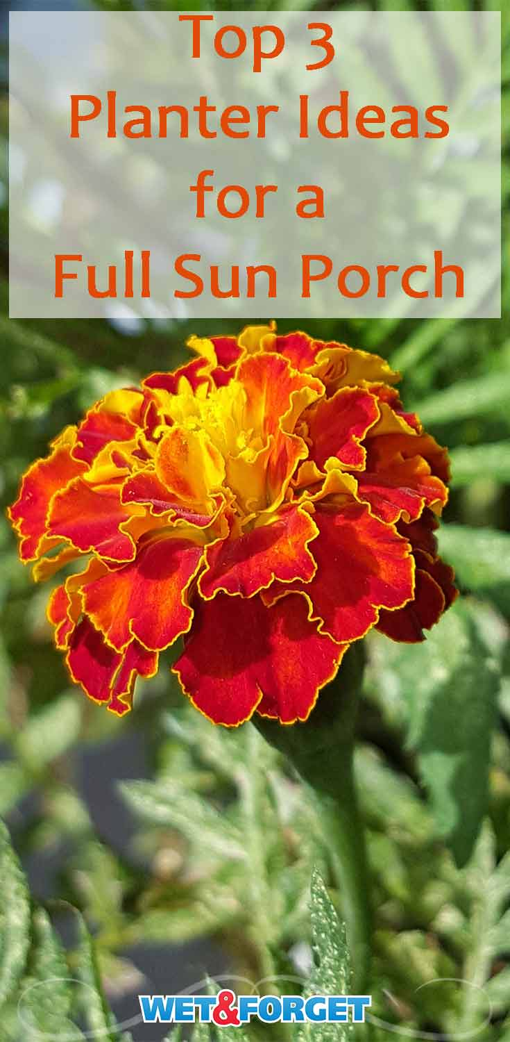 These flowers are perfect for full sun planters on your front porch!