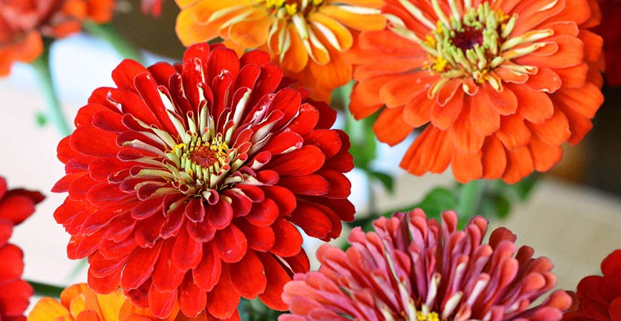 Zinnias come in a wide variety of bright colors.