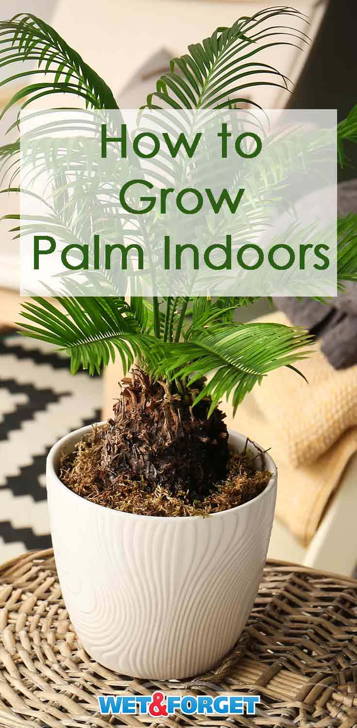 Palm comes in many different varieties. Give your home a tropical feel by growing palm inside with these easy steps!