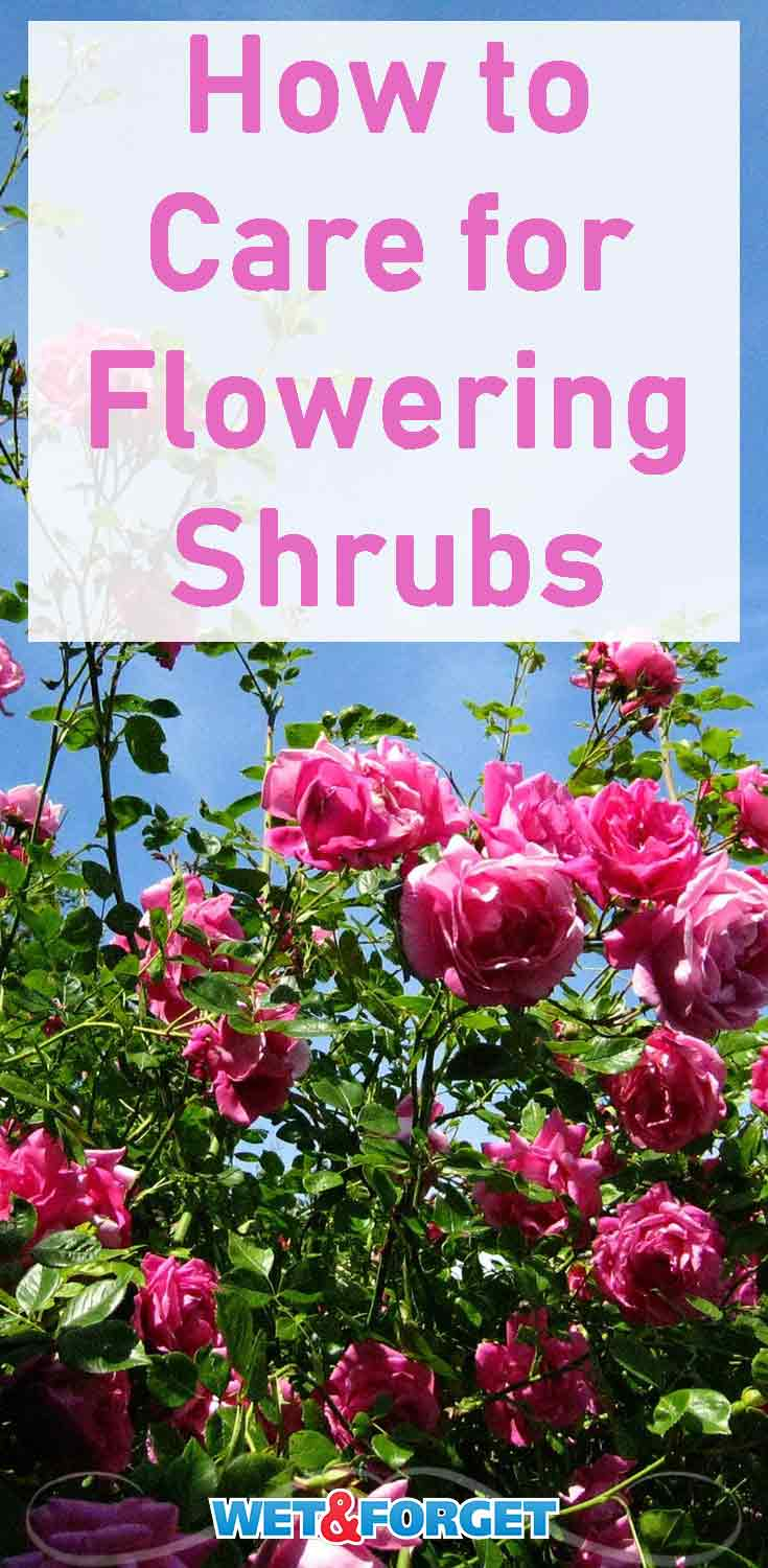 Learn the top tips and tricks for taking care of flowering shrubs!