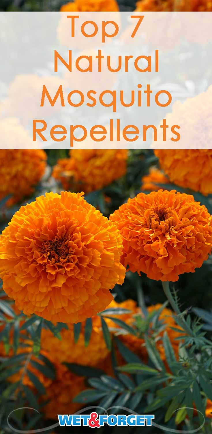 Keep mosquitoes away from your patio with these natural mosquito repellents!