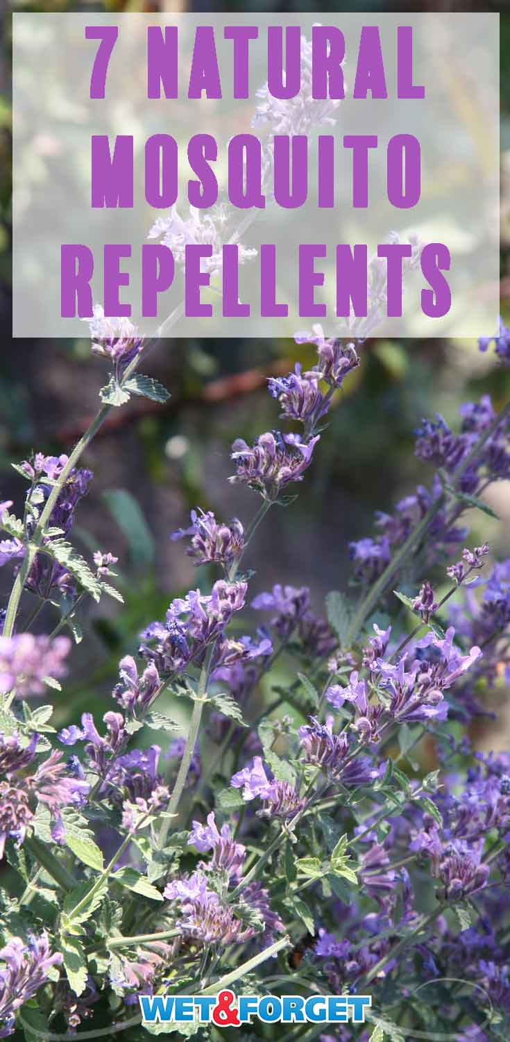 Use these safe natural methods to repel mosquitoes from your backyard!