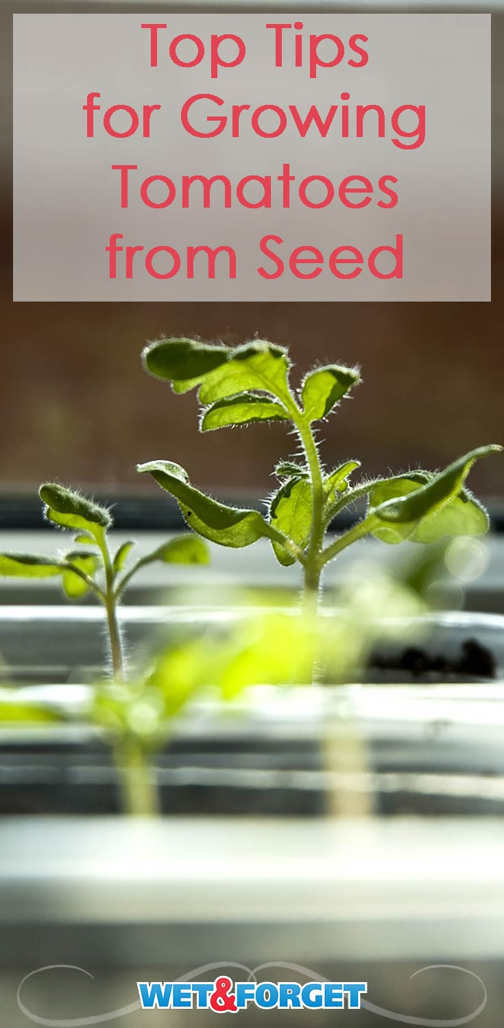 Grow tomatoes from seed successfully with these tips!