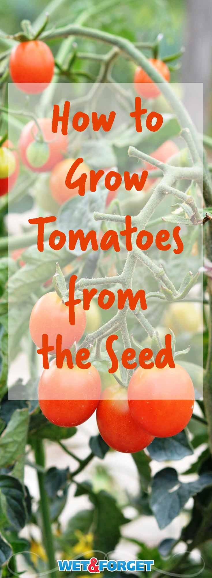 Set yourself up for a fruitful garden by growing tomatoes from the seed! Learn all the tips and tricks to save money and grow healthy tomatoes from the seed.