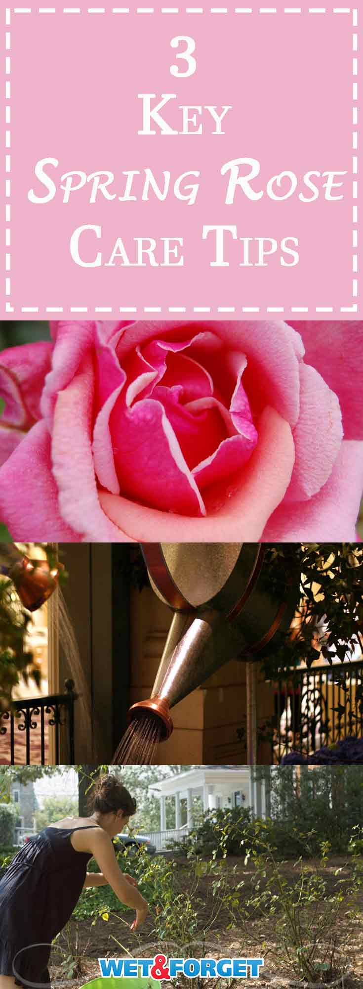 Roses are one of America's favorite flowers, and for good reason. Their distinctive fragrance and velvety blooms make them one of the loveliest flowers in nature. Read on to learn 3 essential things that you can do right now to give your roses a boost, so you and your family can enjoy lots of gorgeous blossoms this year!