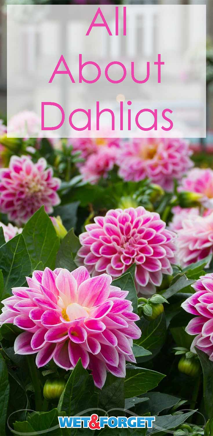 Learn about the different types of dahlias and other dahlia growing tips!