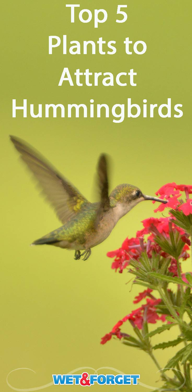 Invite hummingbirds to your yard by adding these 5 plants ot your garden!
