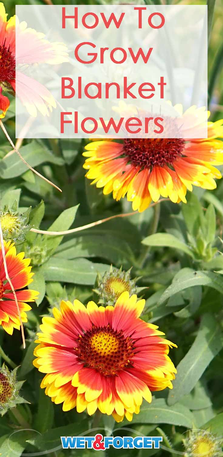 Learn how to grow and care for blanket flowers with our guide!