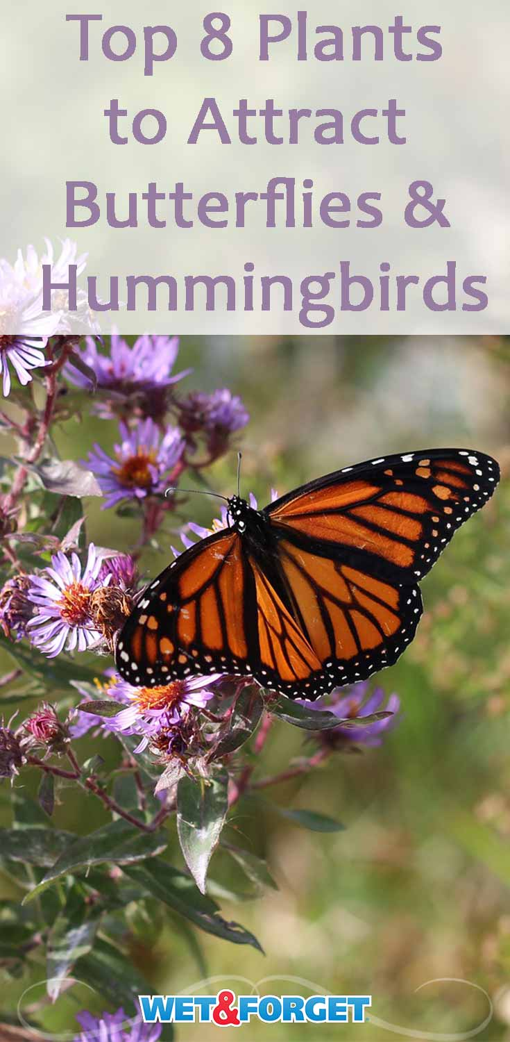 Attract butterflies and hummingbirds to your garden by adding these beautiful plants!