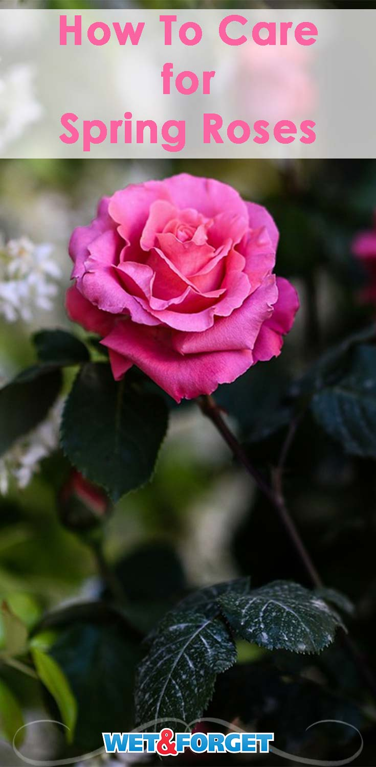 Discover the top tips on caring for roses with our helpful guide!