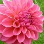 Flower Spotlight: The Magnificent Dahlia