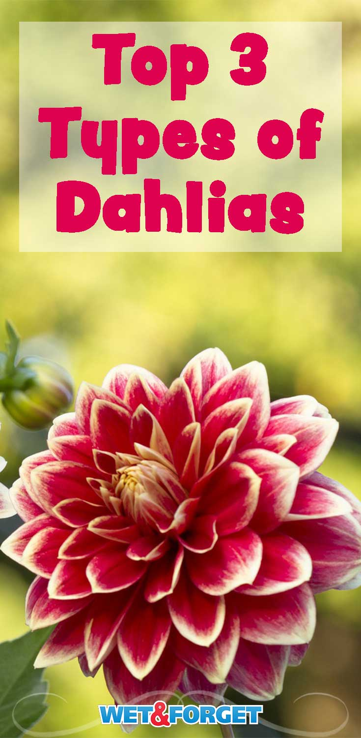 Make your garden more colorful by growing dahlias! Pick out the best type for your garden using our guide.