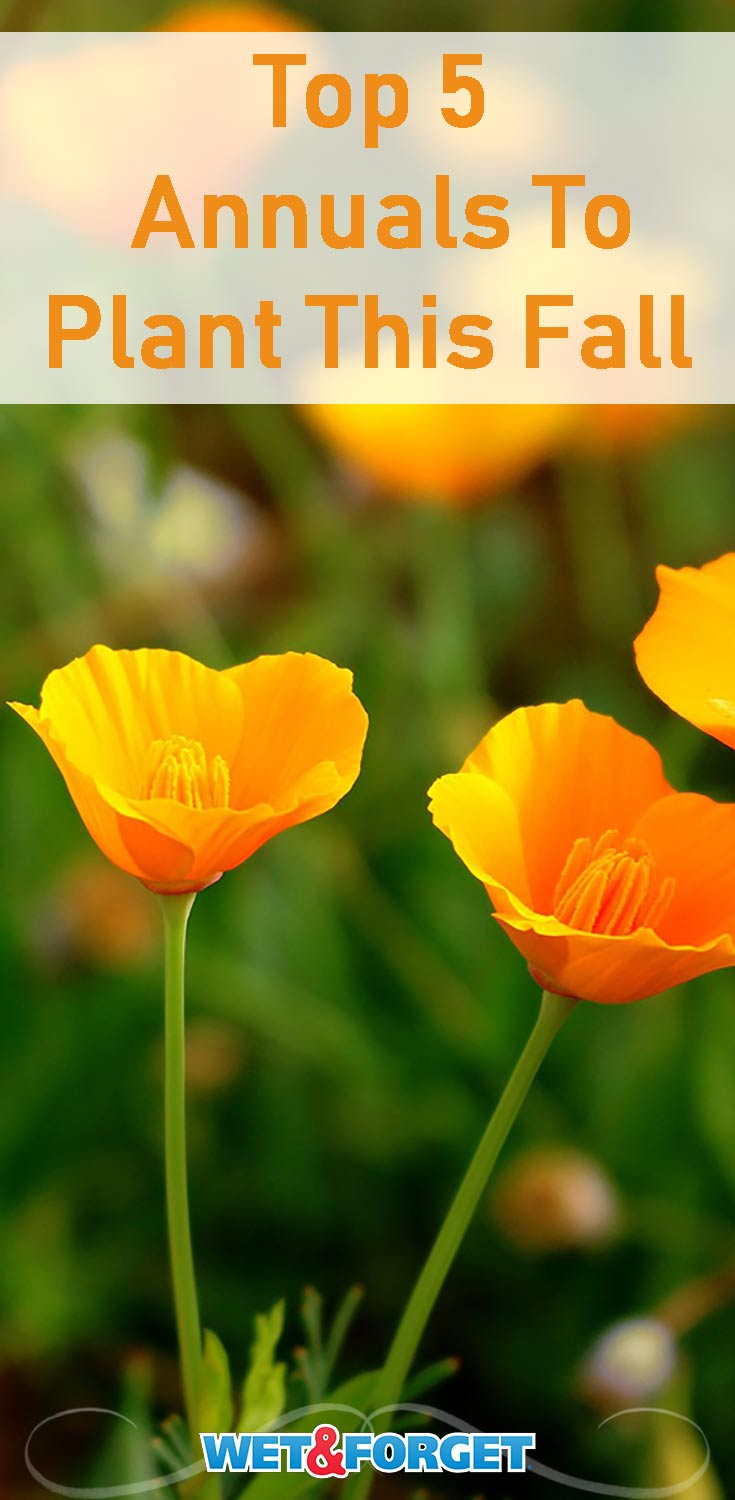 Be sure to plant these annuals this fall for a beautiful spring!