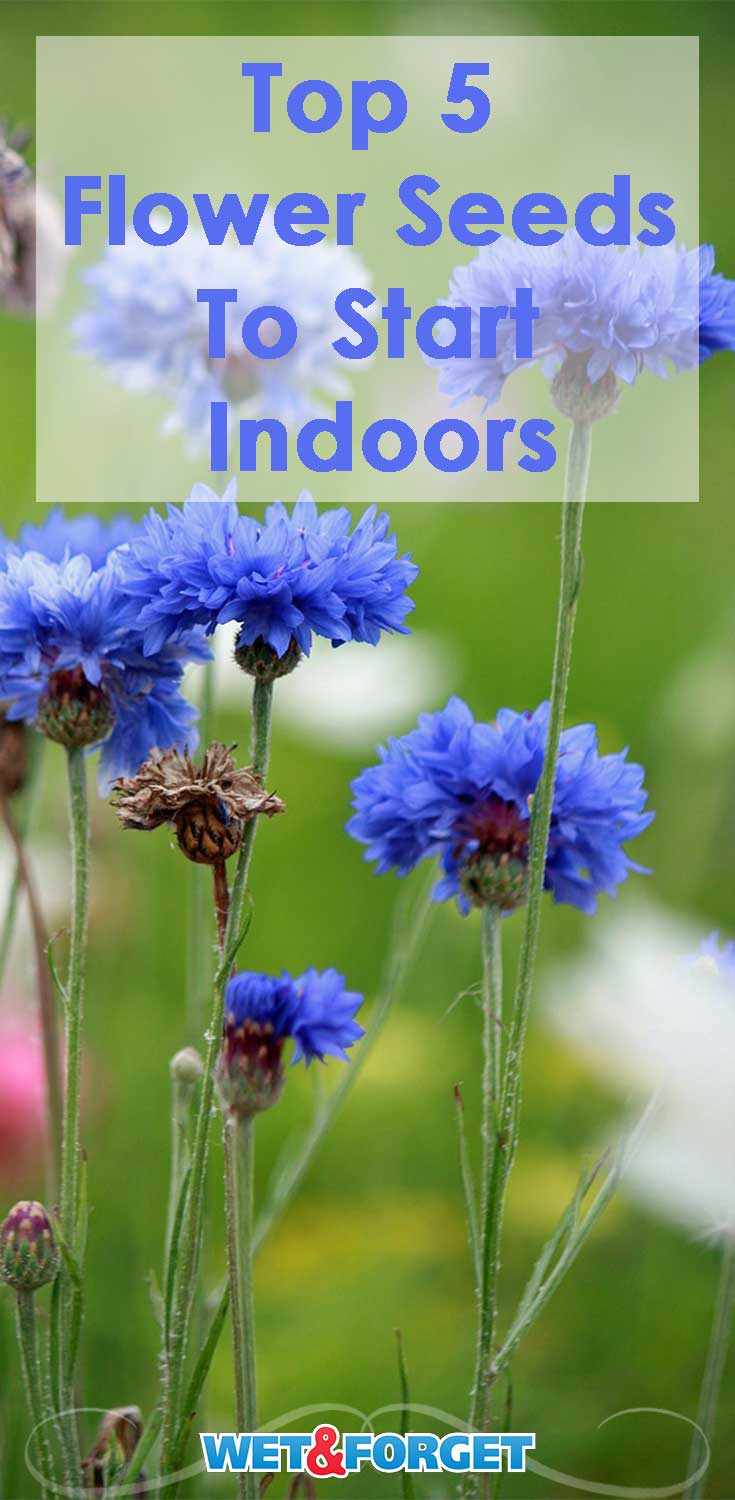 Start growing these 5 types of flowers indoors to have beautiful blooms this spring!