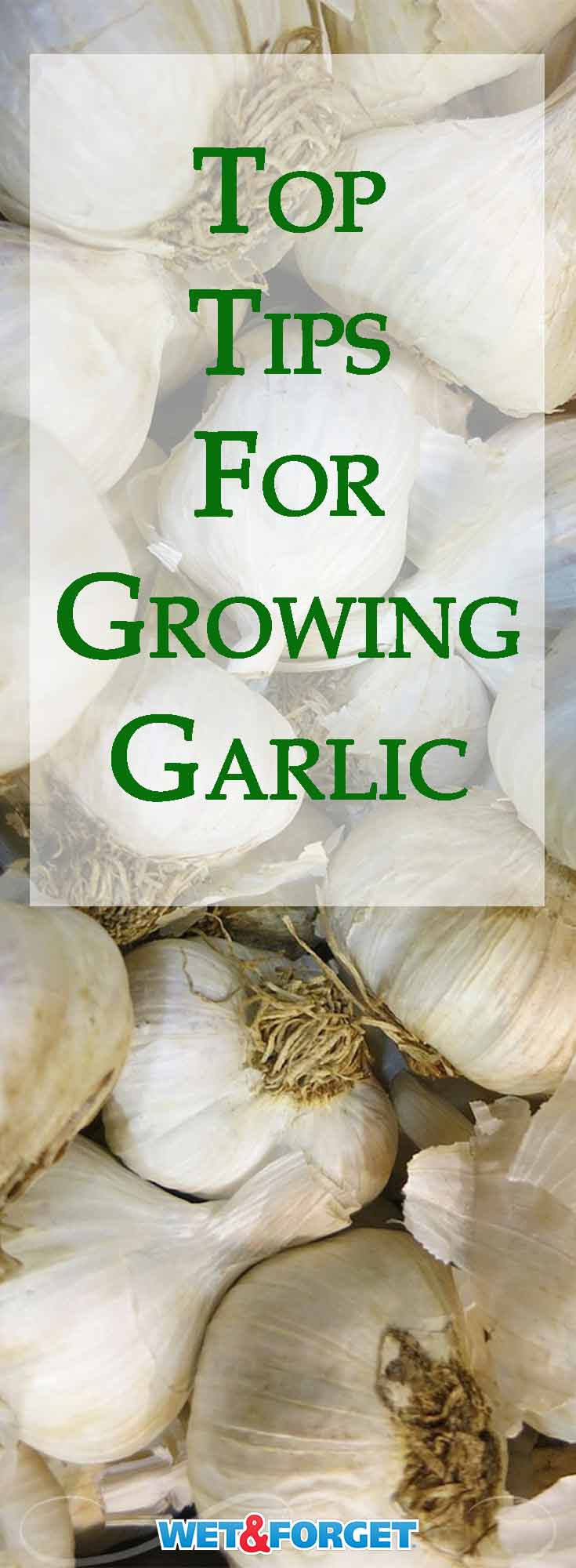 Fall is the best season to start growing garlic! Use our guide for the best tips and tricks to adding garlic to your garden.