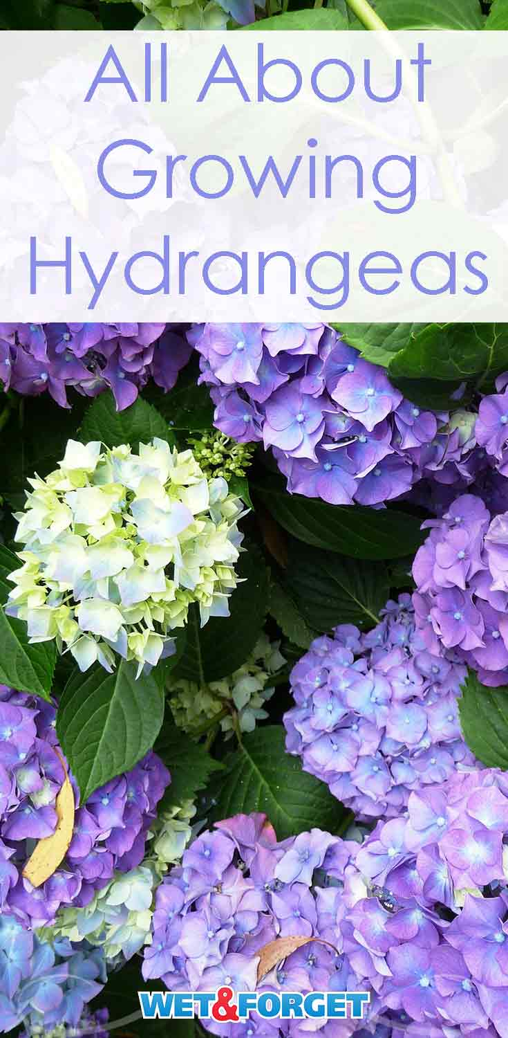Discover the different types of hydrangeas and how to grow them with our guide!