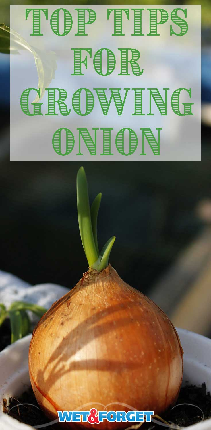 Learn how to grow onion in your backyard and the top tips for taking care of your onion plants with our guide!
