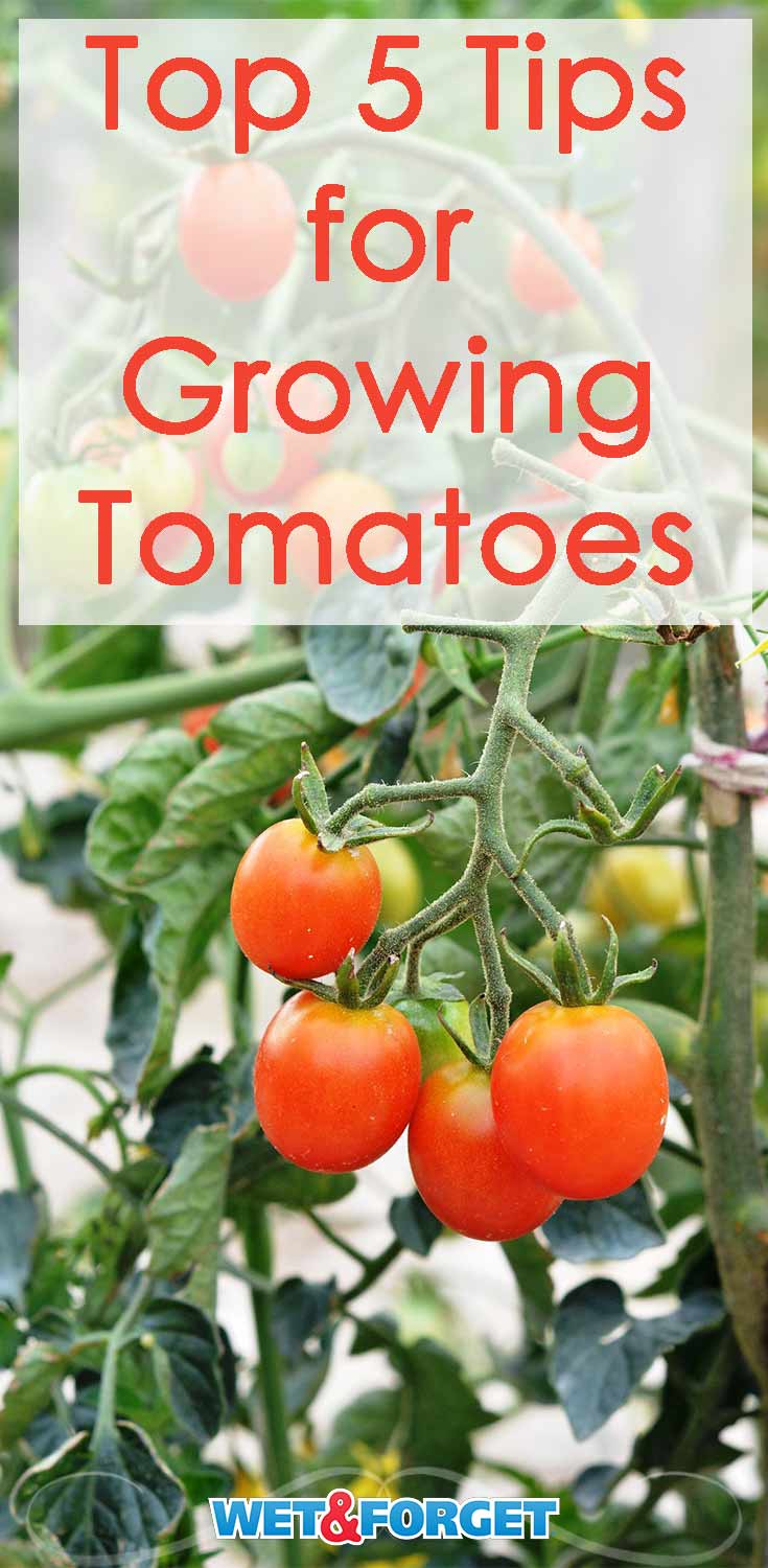 Follow these tips to grow the best tomatoes on your block!