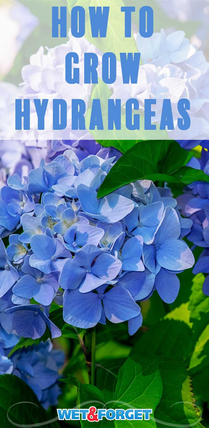 Learn the top tips for growing hydrangeas with our helpful guide!