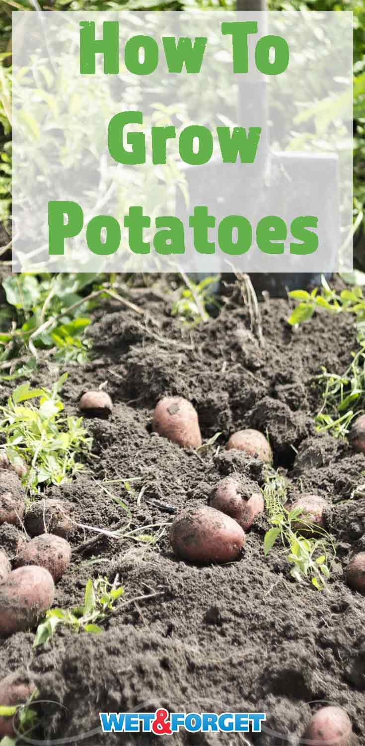 Learn how to grow potatoes and the many benefits of growing them!