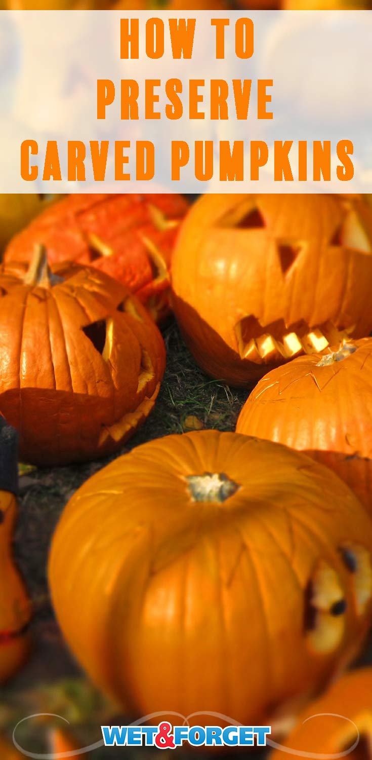 Most carved pumpkins only last a week or so. Use this easy method to make your pumpkin last 4-6 weeks!