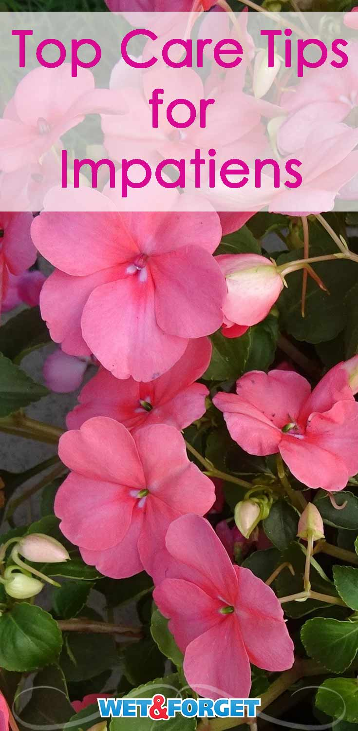 Impatiens can be prone to a few different diseases. Learn how to care for your impatiens and keep them healthy!