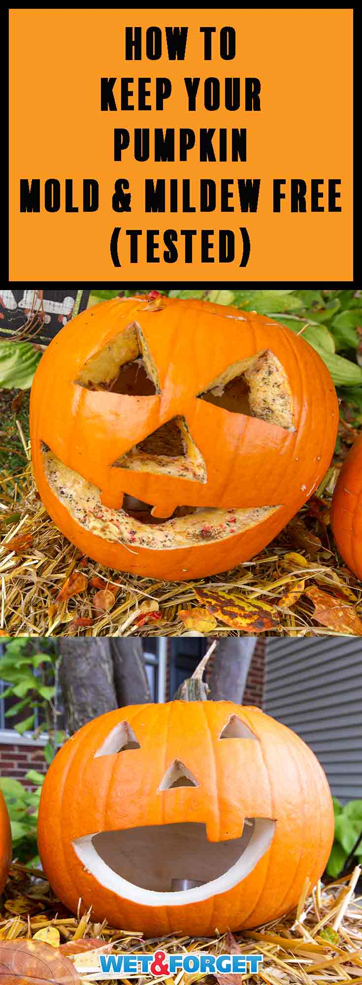 Don't let your pumpkin rot out early this year! Use the best preservation method to keep your pumpkin mold and mildew free for a month!