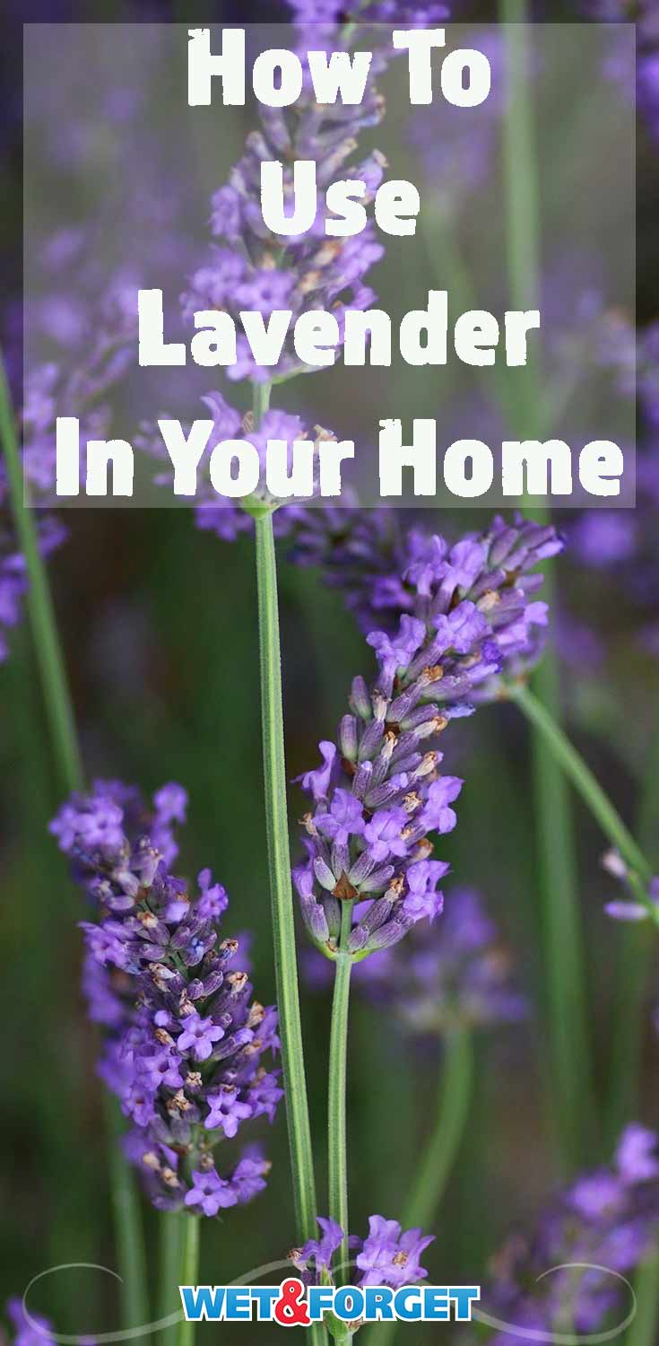 Lavender has so many uses! Find out all the ways you can use in and around your home.