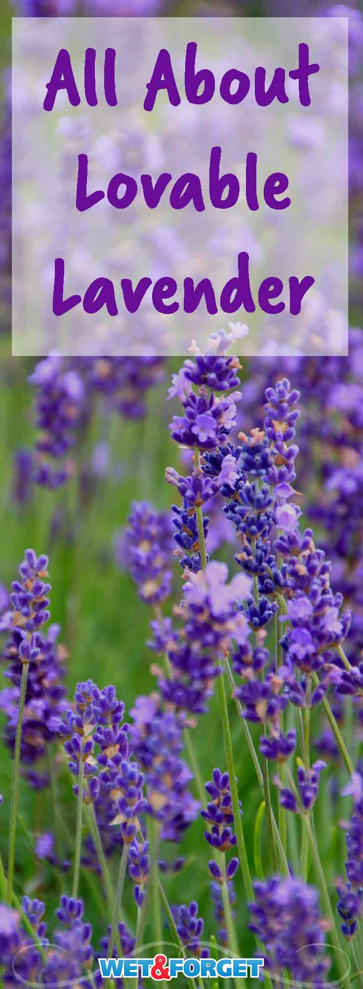 Lavender is one of the most versatile flowers. It adds a beautiful pop of color to your garden and can even be used in cooking. Learn more about the many characteristics of lavender.