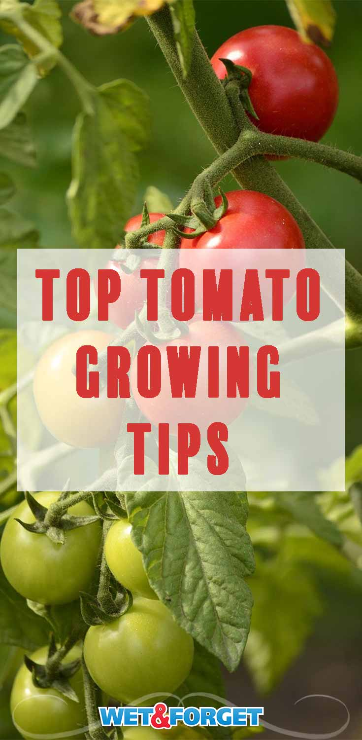 Discover the top tips to keep your tomato plants healthy and strong this year!