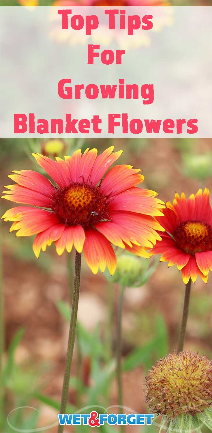 Read up on the top tips for growing the low-maintenance blanket flower!