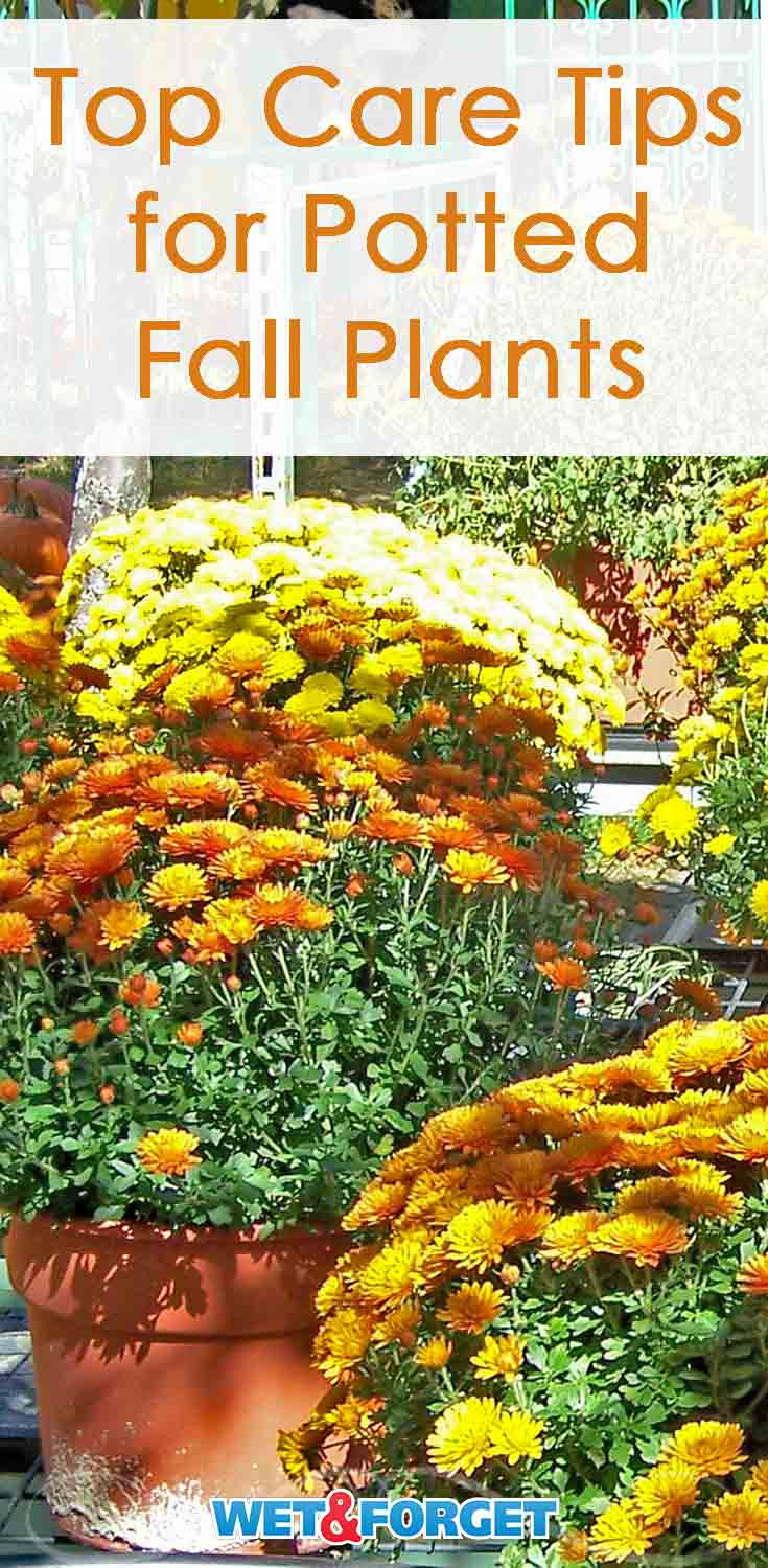 Make sure your fall mums and other potted plants healthy this season with our helpful tips!