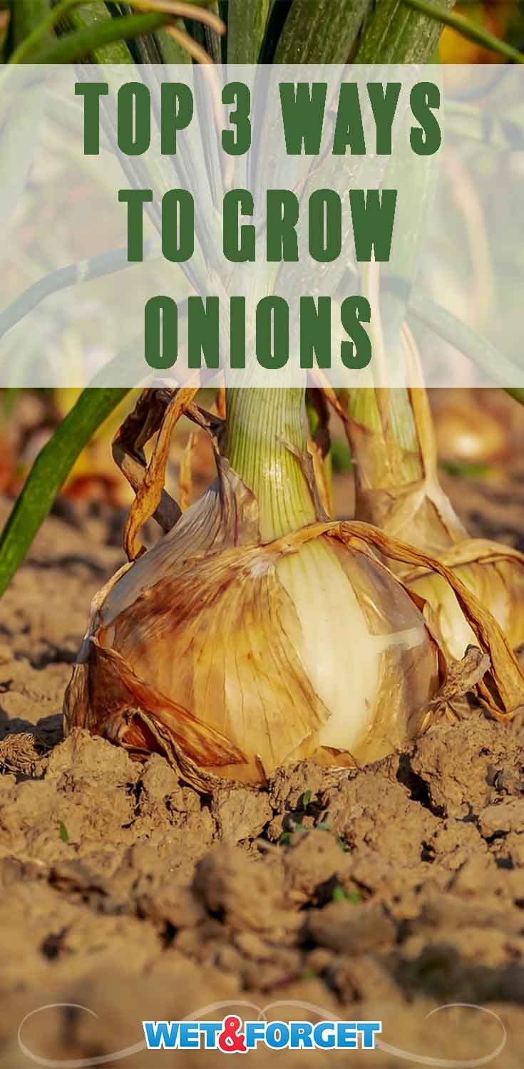 Discover the top three methods to grow onions this spring with our easy to follow guide!