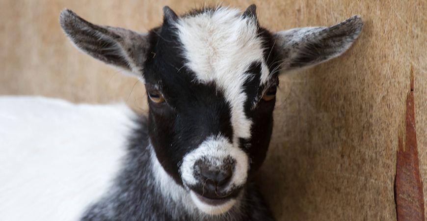goat_c_r