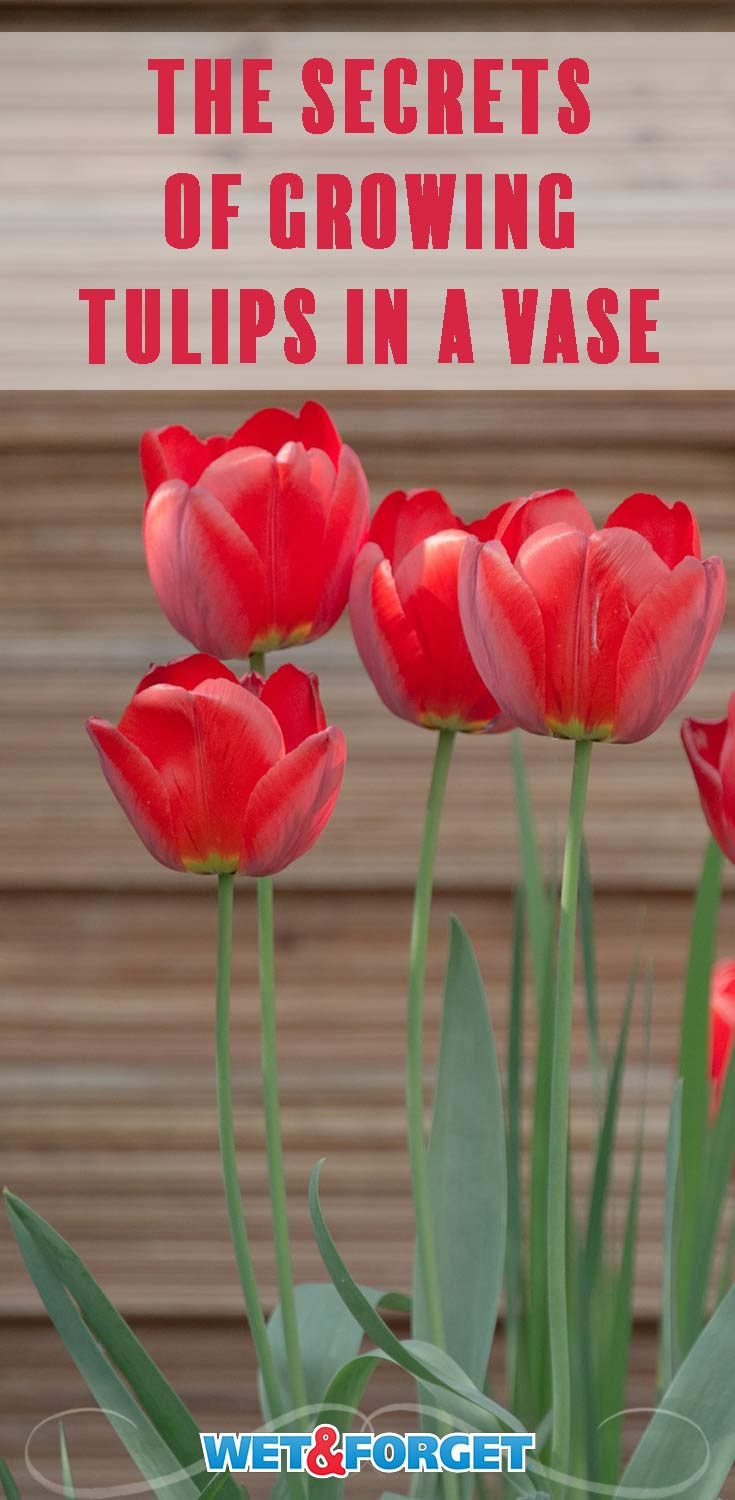 Discover how to grow tulips in a vase and care for tulips with our step-by-step instructions!
